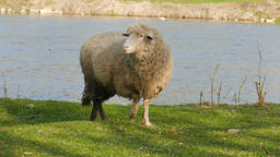 Sheep grazing on a pasture Footage