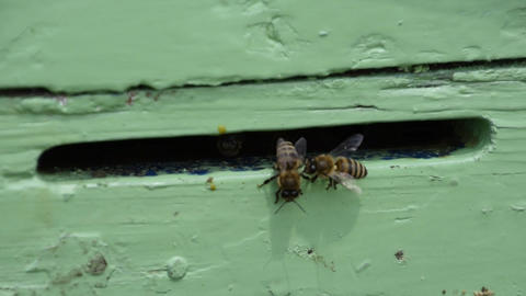 Bees fly in the tray. Entrance to the hive Live Action