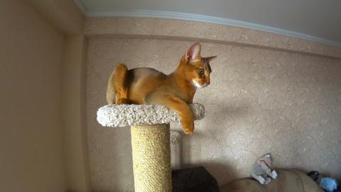 Abyssinian cat portrait Footage