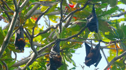 Flying fox hangs on a tree branch Live Action