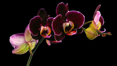 Time-lapse of opening purple Phalaenopsis orchid in RGB + ALPHA matte format Footage