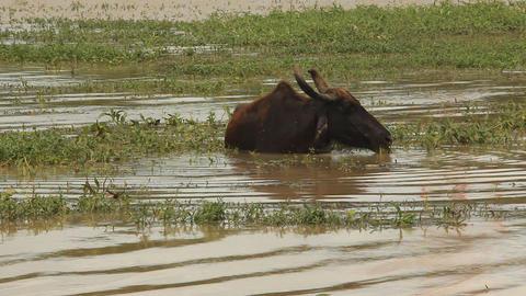 Bool in Water Sri Lanka Footage