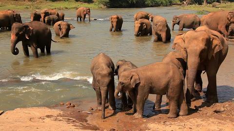 Elephants drink water Footage
