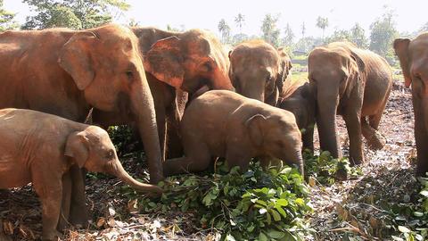 Elephants eat leaves HD Footage