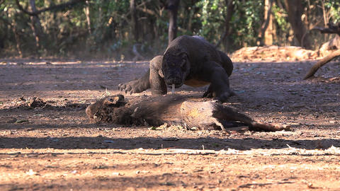 Komodo Dragon comes nearer to victim Footage