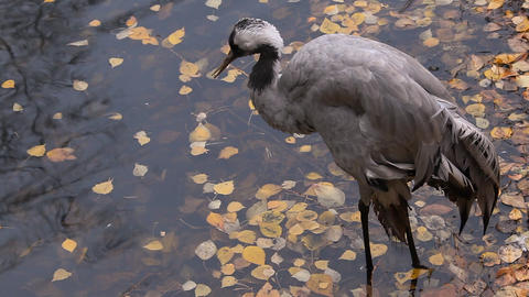 Gray heron Footage