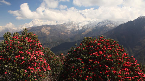Rhododendrons Clouds Footage