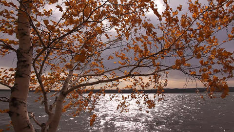 Yellow birch Footage