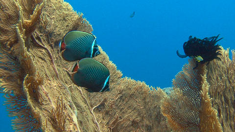 Exciting underwater diving in the Andaman sea. Thailand. Colorful coral reef. Go Live Action