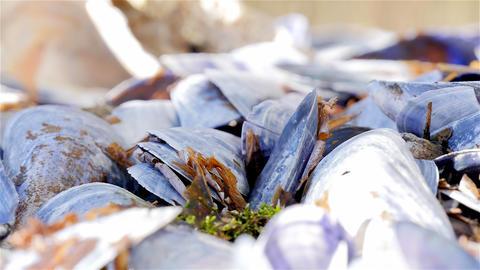 Pan shells eaten blue mussels Footage
