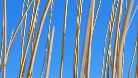 Reed moving spring wind Footage