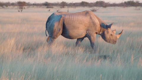 Old rhino in the wild Etosha, Namibia, Africa Footage