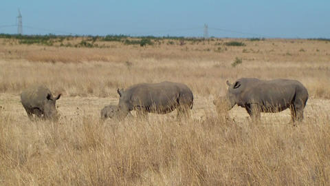 Rhino family poaching horn South Africa Footage
