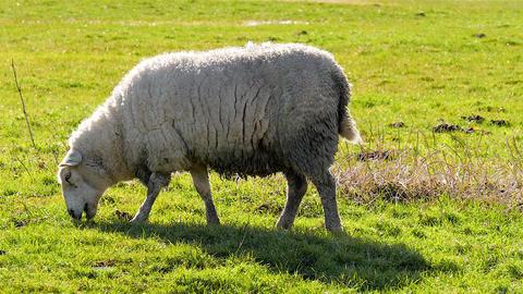 Sheep in field grazing Footage