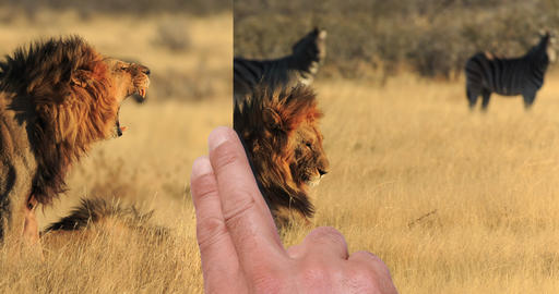 Hand swiping Lion safari photo Africa Footage