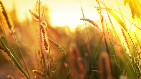 Sun grass Stock Video Footage