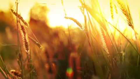 Sun grass Footage