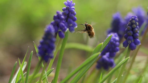 Bumblebee with the trunk into the flower Stock Video Footage