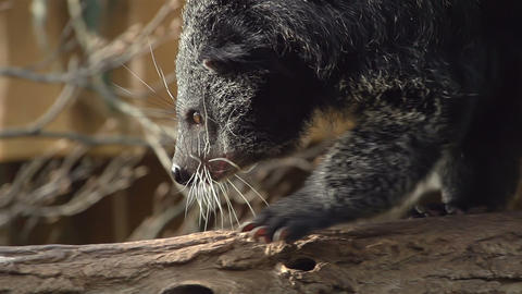 Binturong sitts on tree trunk and yawns Stock Video Footage