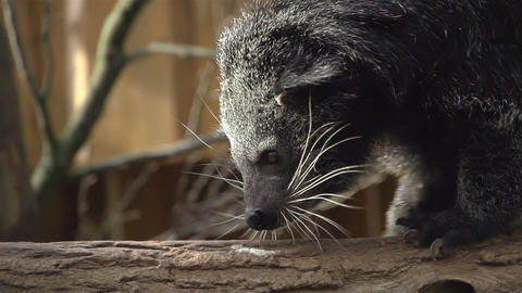 Binturong sitts on tree trunk and yawns Footage