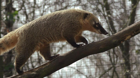Coati walks on tree trunk Live Action