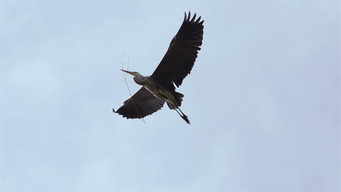 Stork has bough in its beak and flies between trees Stock Video Footage