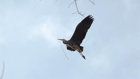 Stork has bough in its beak and flies between trees Stock Video Footage