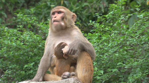 Mother Monkey feeding a baby and eating Stock Video Footage