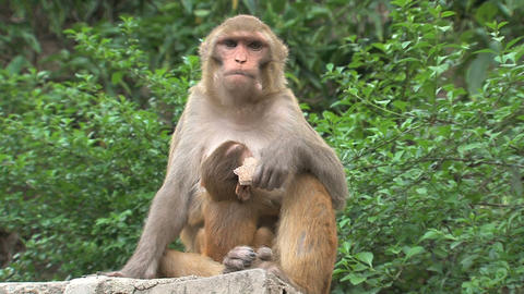 Mother Monkey feeding a baby and eating Footage