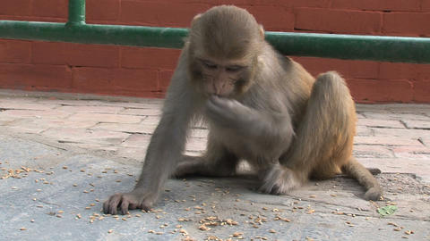 Monkey eating fast little nuts Stock Video Footage
