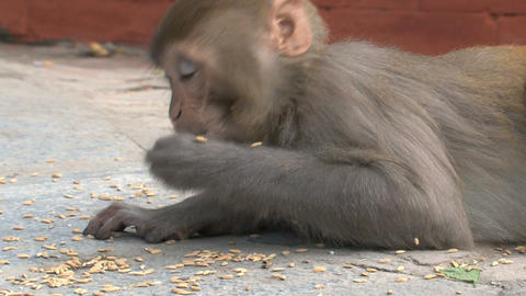 Monkeys eating little nuts Stock Video Footage