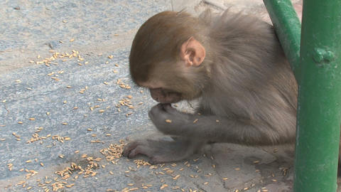 Monkey eating fast little nuts Footage
