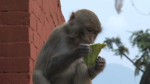 Monkey finished eating fruit Stock Video Footage