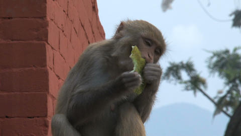Monkey finished eating fruit Footage
