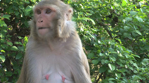 Monkey eating close up Stock Video Footage