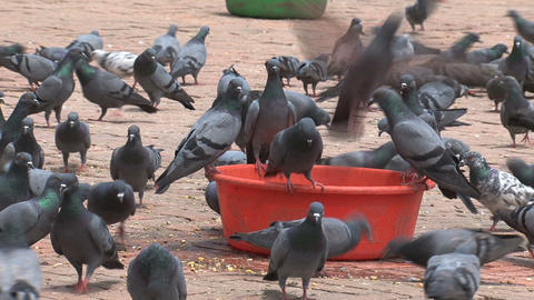 big group pigeons drinking water Stock Video Footage