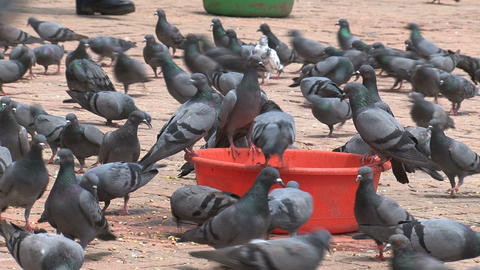big group pigeons drinking water Footage