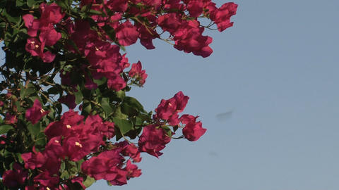 Red flowers and a clear blue sky Footage