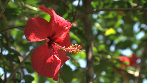 Red flower in the wind Stock Video Footage