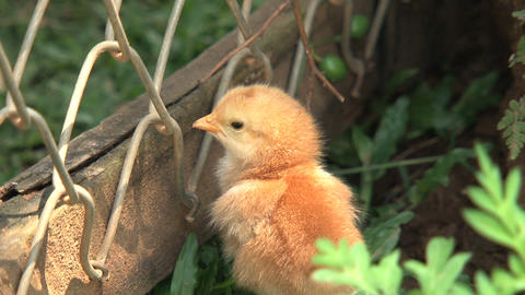 Baby chickens jumping through a fence Stock Video Footage