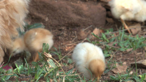 Baby chickens looking for food Stock Video Footage