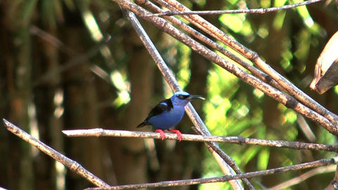 red legged honeycreeper Stock Video Footage