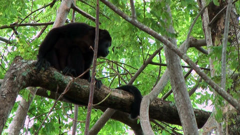 Howler monkey sitting in a tree during strong wind shot... Stock Video Footage