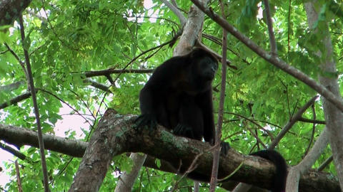 Howler monkey sitting in a tree during strong wind shot in costa rica Footage