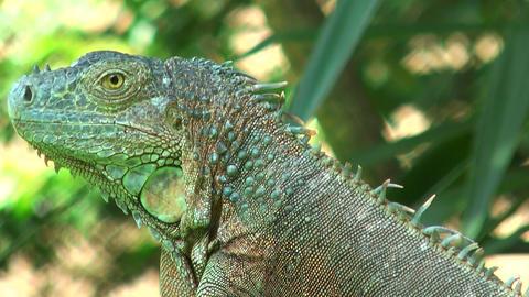 Green iguana close up Stock Video Footage
