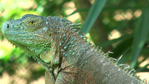 Green iguana close up Stock Video Footage