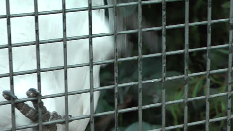 sulphur-creseted Cockatoo climbing up his cage Footage