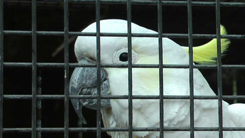 sulphur-creseted Cockatoo climbing up his cage Stock Video Footage