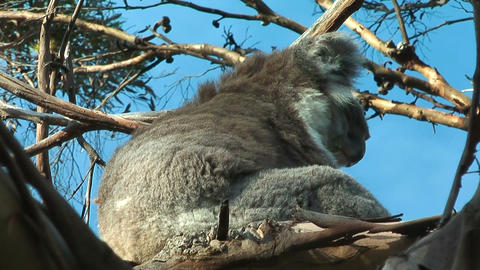 Koala in motion Stock Video Footage