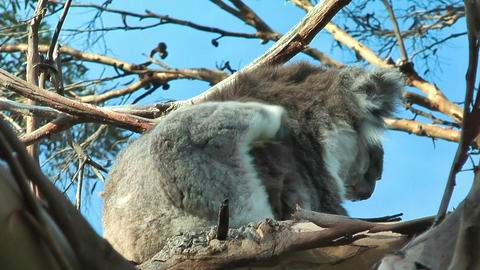 Koala in motion Stock Video Footage